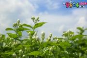 怎么挑选一款适合自己的茉莉花茶?